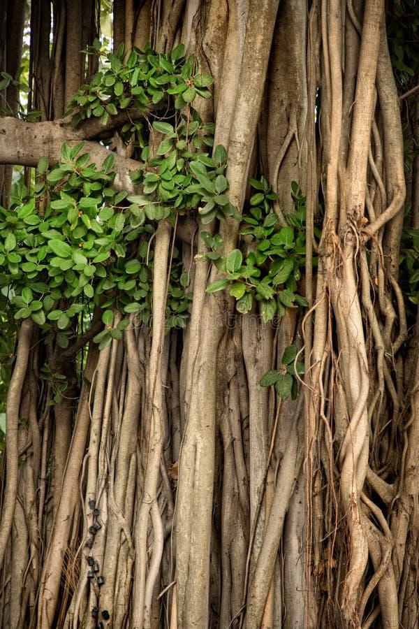 Schließen Sie herauf tropischen Baumstamm mit Niederlassungen und Wurzeln in Bangkok, lizenzfreie stockfotografie