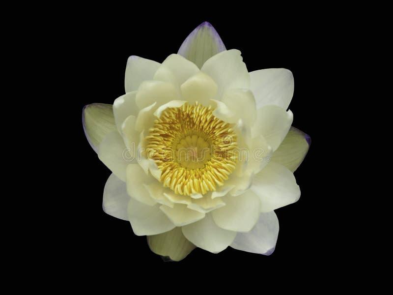 Schließen Sie herauf Weiß waterlily oder die Lotosblume, die auf schwarzem Hintergrund lokalisiert wird stockbild