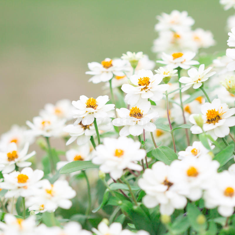 Schließen Sie herauf weiße Blume im Garten, selektiver Fokus lizenzfreie stockbilder