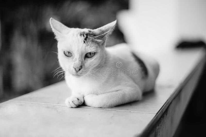 Schließen Sie herauf weiße thailändische Katze geschaute Kamera, schwärzen Sie eine weiße Bildart, selektiven Fokus am Gesicht stockfotografie