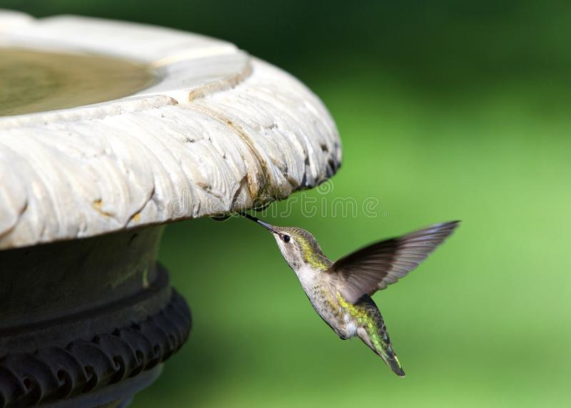Schließen Sie oben auf einem Annas Kolibri, der von den Wassertröpfchen weg von einem Vogelbad trinkt stockbilder
