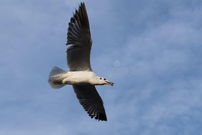 Schließen Sie oben auf einem vollen Körper der einzelnen Seemöwe, der UO im Himmel fliegt lizenzfreies stockfoto