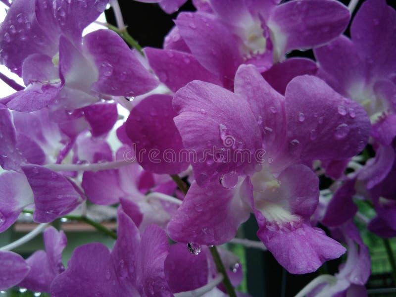 Schließen Sie oben auf rosa Orchidee stockfotos