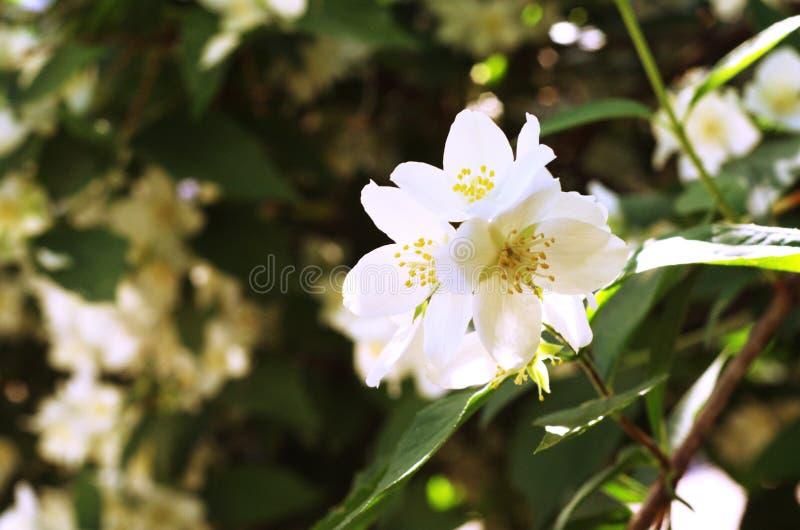 Schließen Sie oben auf weißer Blume lizenzfreies stockbild