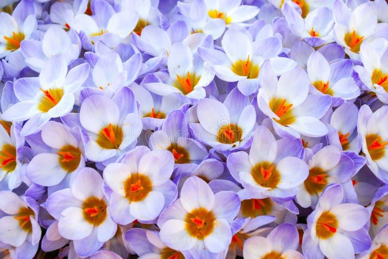 Schließen Sie oben die purpurroten und weißen Krokusblumen in voller Blüte lizenzfreie stockbilder