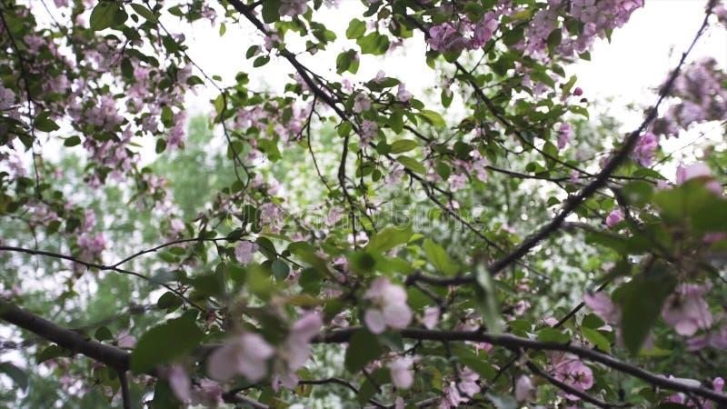 Schließen Sie oben für Niederlassung der rosa Zeit der Apfelblüten im Frühjahr Der Apfelbaum ist in der Blüte Gesamtlänge auf Lag lizenzfreie stockfotografie
