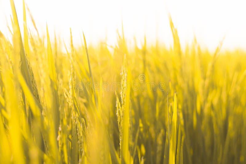 Schließen Sie oben Tonfrühlingssommerkonzept-Ideenhintergrund des Gelbgrünreisreisfelds vom gelben goldenen stockfoto
