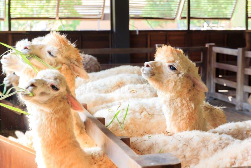 Schließen Sie oben vom Alpaka im Naturbauernhof lizenzfreies stockbild