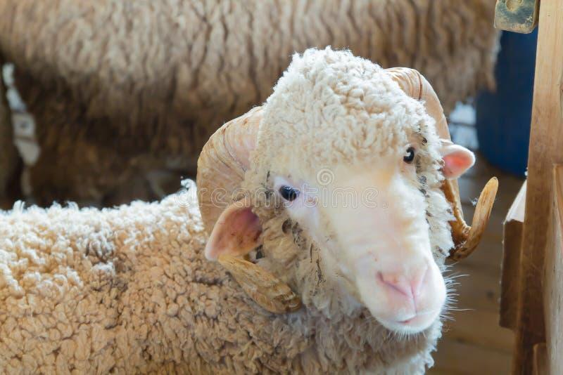 Schließen Sie oben vom Alpaka im Naturbauernhof stockfotos