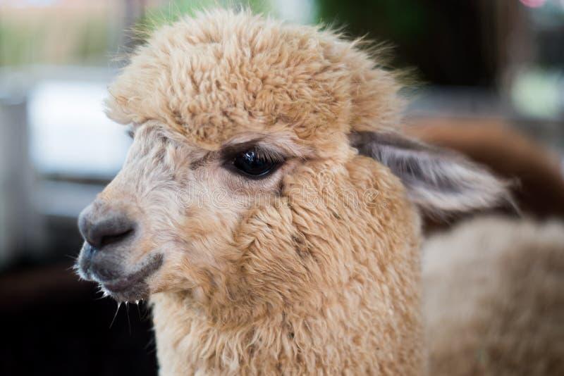 Schließen Sie oben vom Alpakakopfporträt stockfotografie