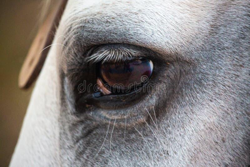 Schließen Sie oben vom Auge eines weißes Hengstpferds lizenzfreie stockfotografie