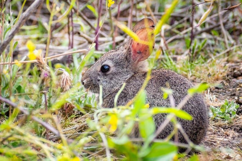 Schließen Sie oben vom Babybürstenkaninchen, das noch in den Sträuchen sitzt; Zecken befestigt zu seinen langen Ohren; Kalifornie lizenzfreie stockbilder