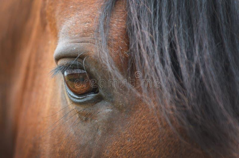 Schließen Sie oben vom bernsteinfarbigen Pferdeauge mit langen Peitschen des braunen Hengstes lizenzfreies stockfoto