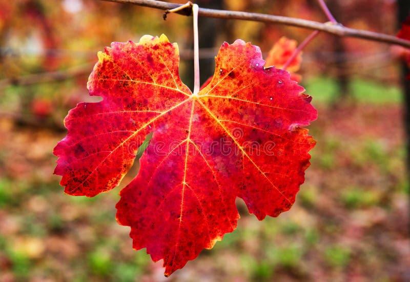 Schließen Sie oben vom Blatt des roten Weinbergs im Herbst stockfotografie