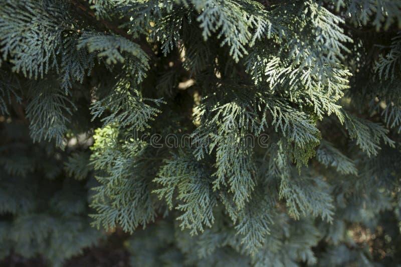 Schließen Sie oben vom Busch der weißen Zeder, fast grau in der Farbe in Schweden stockfotos
