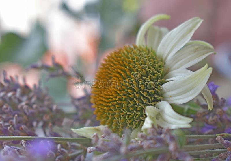 Schließen Sie oben vom Echinacea- und Lavendelkraut lizenzfreies stockfoto