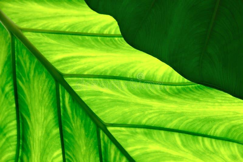 Schließen Sie oben vom essbaren Colocasia (Wasserbrotwurzel) stockfoto