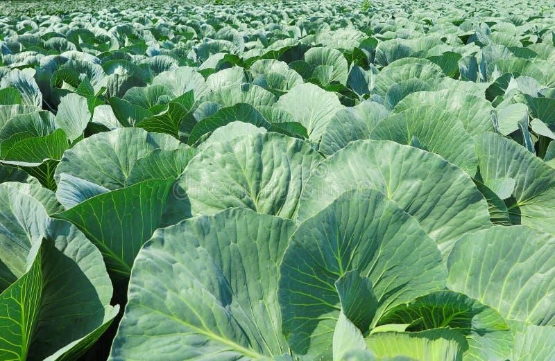 Schließen Sie oben vom Feld mit Weißkohlanlagen - die Niederlande, Venlo lizenzfreie stockfotografie