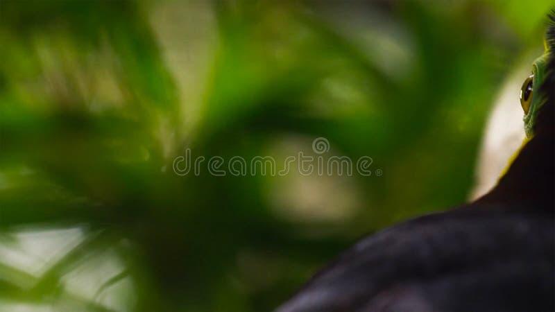 Schließen Sie oben vom Fischertukan, Ramphastos-sulfuratus, Vogel in natürlichem Foz tun Iguacu, Brasilien lizenzfreie stockfotografie