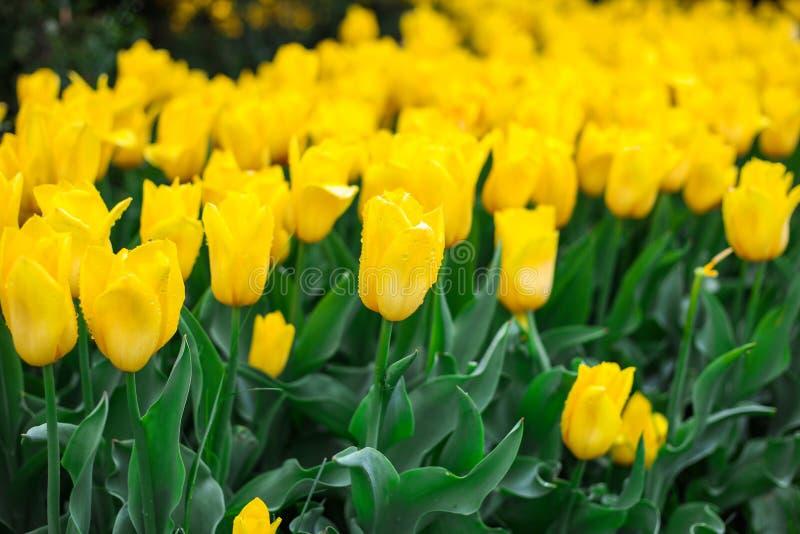 Schließen Sie oben vom gelben Tulpenfeld nach Regen stockfotografie