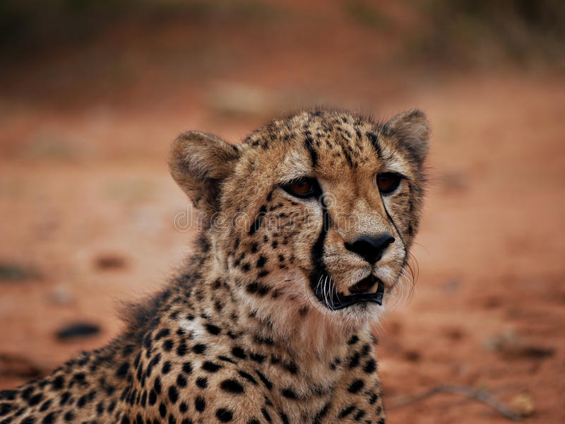 Schließen Sie oben vom Geparden stockbilder