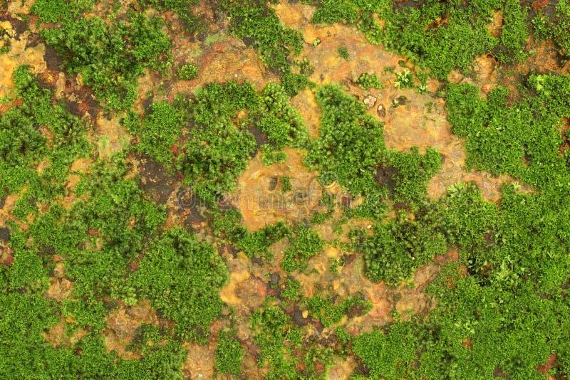 Schließen Sie oben vom grünen Moos, Beschaffenheits, diehintergrund auf der alten Steinwand wächst stockfotos