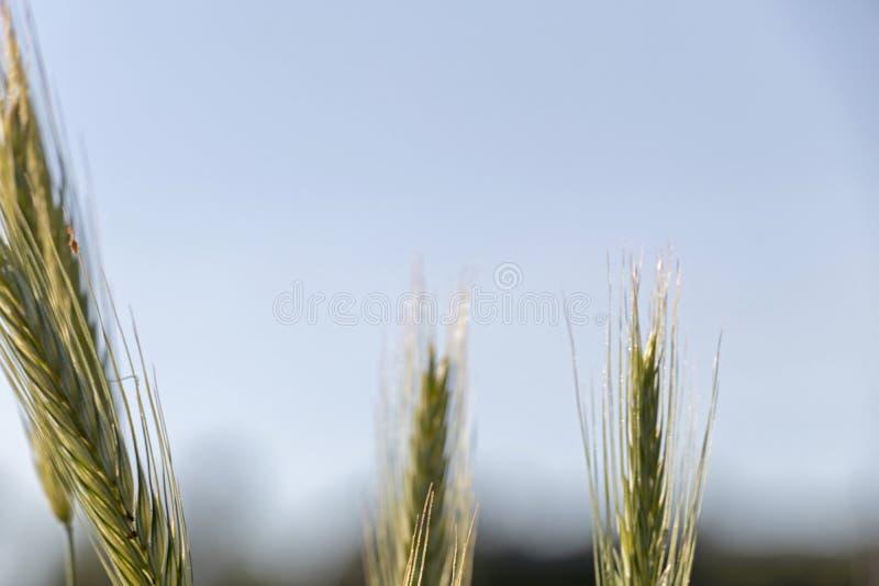 Schließen Sie oben vom grünen Weizen auf einer warmen weichen Frühlingssonne Weizenbetriebsdetail auf dem landwirtschaftlichen Ge stockfoto