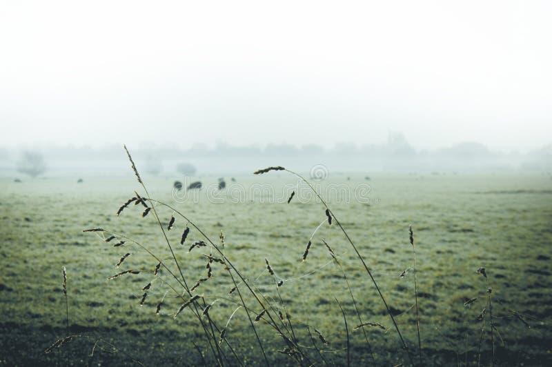 Schließen Sie oben vom Gras auf einem schönen nebeligen Morgen mit den Schafen, die auf einem Gebiet unscharf im Hintergrund weid lizenzfreie stockfotografie