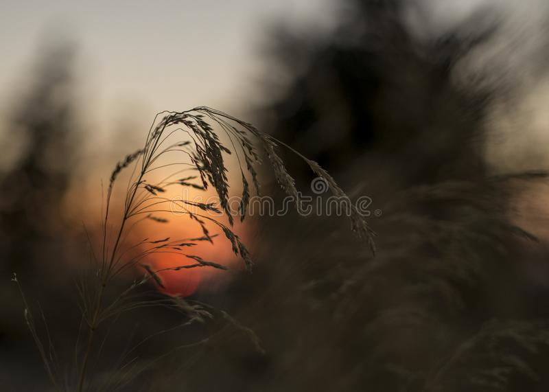 Schließen Sie oben vom Gras im Sonnenuntergang blured abstrakt Hintergrund SH stockbilder