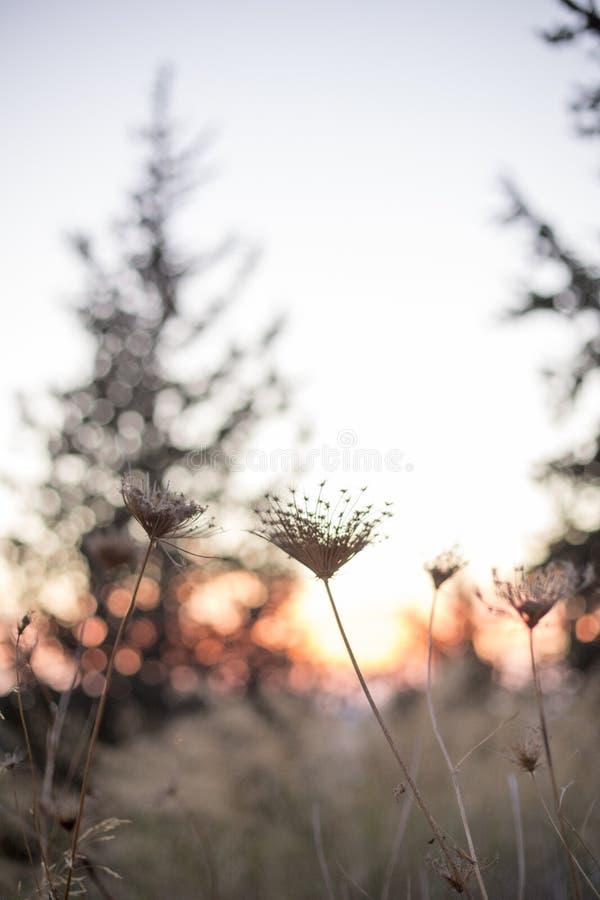 Schließen Sie oben vom Gras im Sonnenuntergang blured abstrakt Hintergrund SH lizenzfreie stockfotos