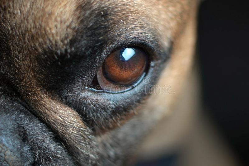Schließen Sie oben vom großen bernsteinfarbigen Auge eines braunen Hundes der französischen Bulldogge stockbilder