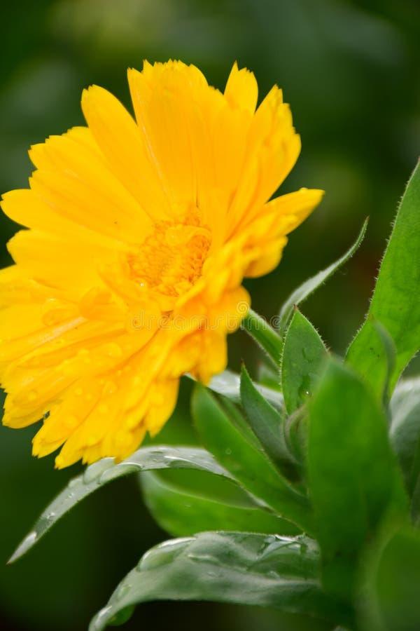 Schließen Sie oben vom hellen gelben Calendula Officinalis oder von den Ringelblume-Blumen durch Maria Rutkovska lizenzfreie stockbilder