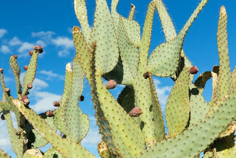 Schließen Sie oben vom Kaktus, der draußen über blauem Himmel wächst stockfoto