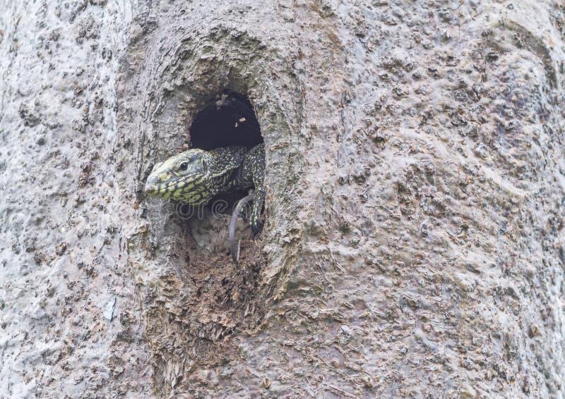 Schließen Sie oben vom Kopf eines jungen Wassermonitors (Varanus salvator) stockfotos