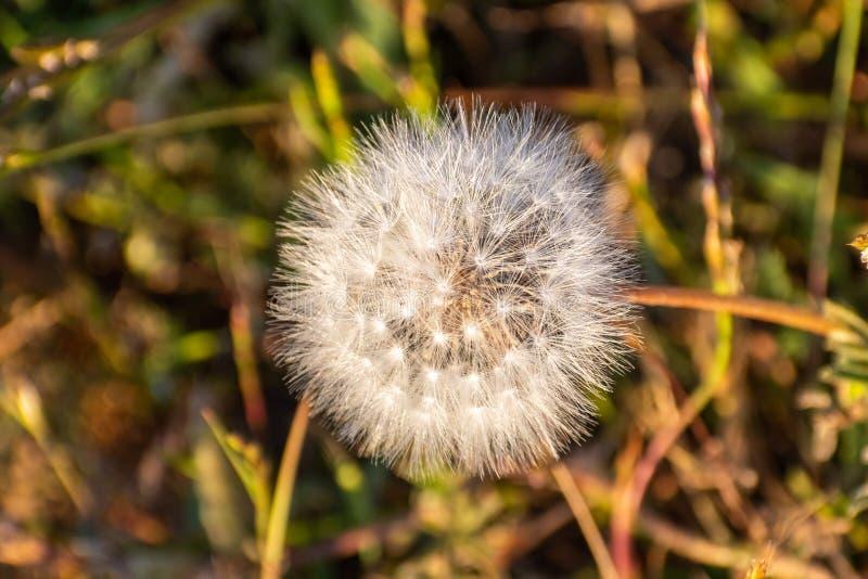 Schließen Sie oben vom Löwenzahn Taraxacum officinale Samenkopf stockbild