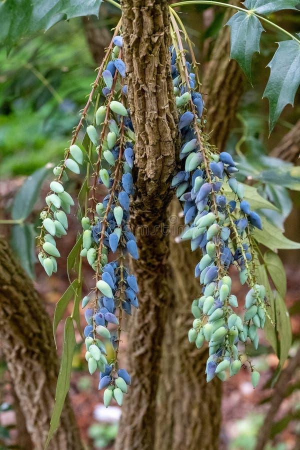 Schlie?en Sie oben vom Mahonia, dekorativer immergr?ner Strauch, die eine Gruppe von Beeren im Fr?hjahr produzieren Fotografiert  stockfotografie