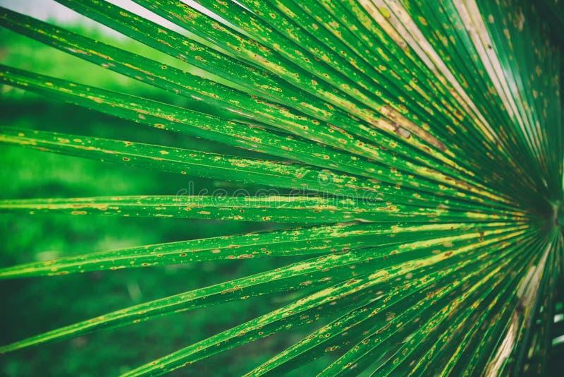 Schließen Sie oben vom natürlichen Hintergrund des grünen Blätter plam Beschaffenheitshintergrundes, Blattfasern lizenzfreie stockfotos