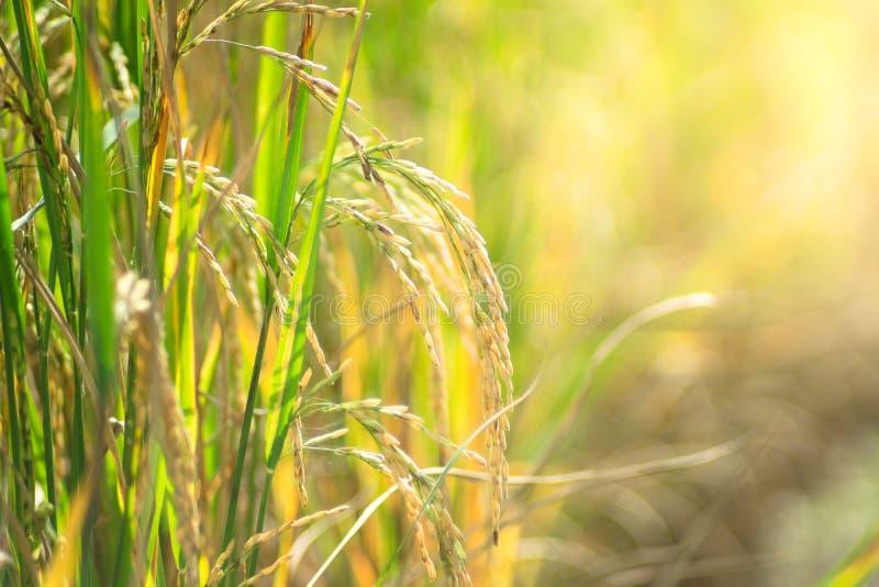 Schließen Sie oben vom Reis, der auf dem Gebiet angebaut wird stockfotos