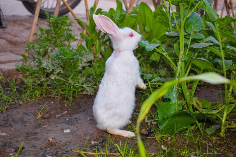 Schließen Sie oben vom schönen weißen Kaninchen in einem Garten stockfotos
