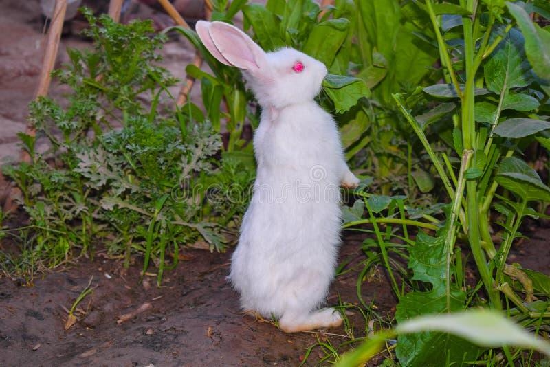 Schließen Sie oben vom schönen weißen Kaninchen in einem Garten lizenzfreies stockbild