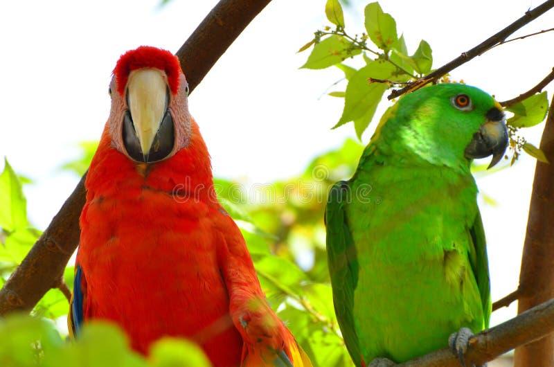 Schließen Sie oben vom Scharlachrot Keilschwanzsittich-und vom grünen Papageien lizenzfreies stockbild