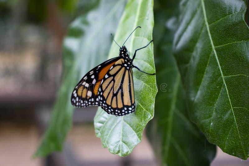 Schließen Sie oben vom Schmetterling auf einem Blatt stockfotografie