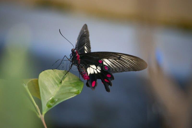Schließen Sie oben vom Schmetterling auf einem Blatt stockfotos