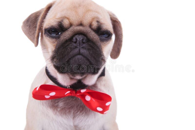 Schließen Sie oben vom schreienden Pug, der rotes bowtie mit weißen Punkten trägt stockbilder