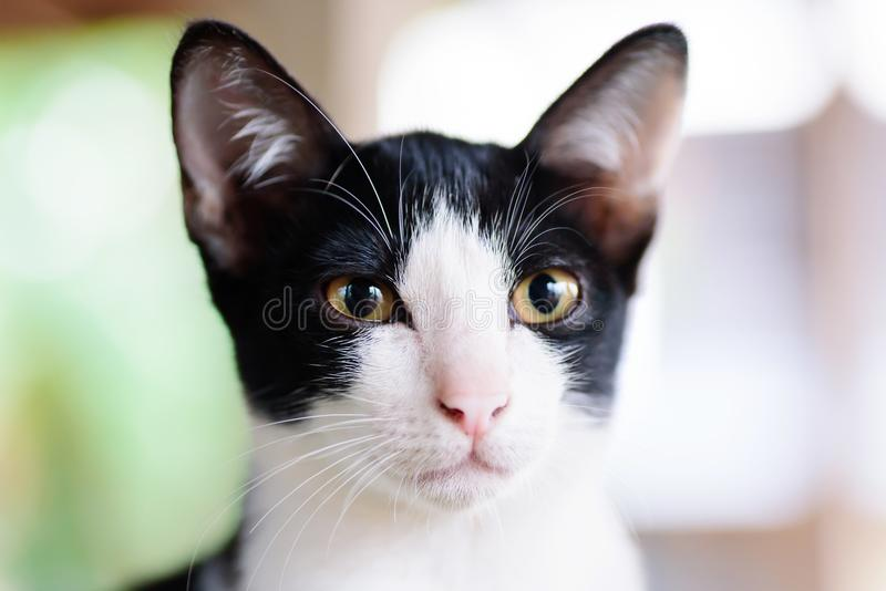 Schließen Sie oben vom Schwarzweiss-Katzengesicht stockfotos