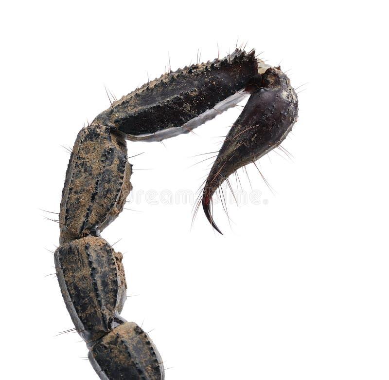 Schließen Sie oben vom Skorpionsendstück, das auf Weiß lokalisiert wird stockfotografie