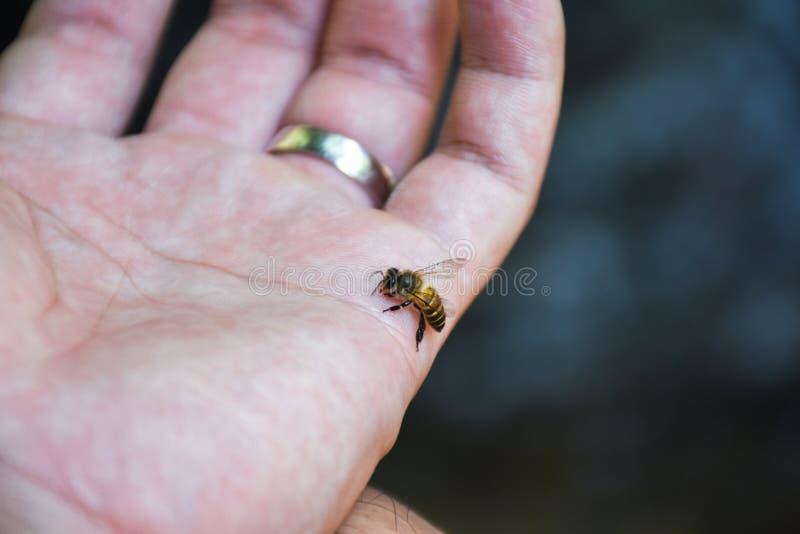 Schließen Sie oben vom stechenden Angriff Honey Bees in der menschlichen Hand lizenzfreie stockbilder