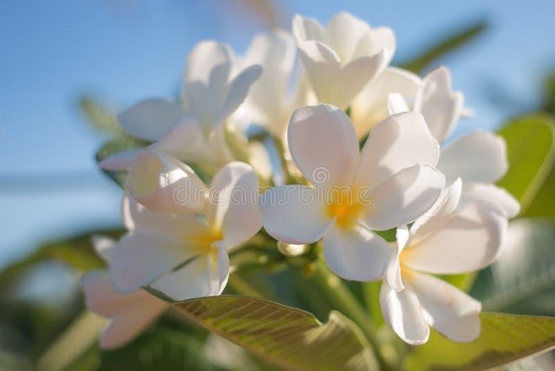 Schließen Sie oben vom verwischten Weiche und Weichzeichnung von den weißen Frangipaniblumen lizenzfreie stockfotos