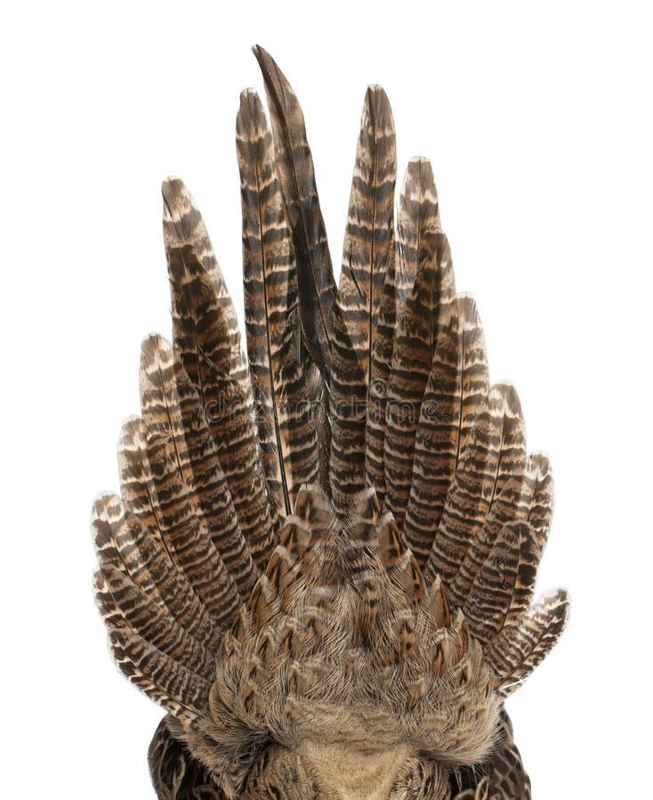 Schließen Sie oben vom weiblichen Goldfasan oder 'vom chinesischen Fasan ', Chrysolophus pictus stockbilder
