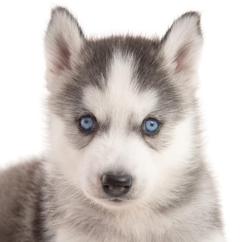 Schließen Sie oben vom Welpen des sibirischen Huskys der blauen Augen lizenzfreies stockbild